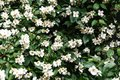Close Up Blooming Jasmine Flower On Bush In Garden, Selected Foc Royalty Free Stock Photo - 112205955