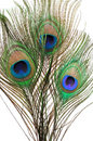 Peacock Feathers Royalty Free Stock Photos - 11252738
