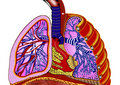 Lungs Royalty Free Stock Images - 11255049