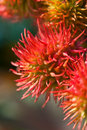 Rambutans Royalty Free Stock Photography - 11259327