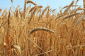 Ear Of Wheat Stock Image - 11261681