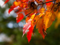 Autumn Maple Leaves Royalty Free Stock Photography - 11265007