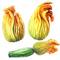 Zucchini, Courgette Flower, Yellow Pumpkin Flowers, Isolated, Hand Drawn Watercolor Illustration On White Royalty Free Stock Image - 112611126