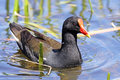Common Moorhen Stock Photography - 11285522