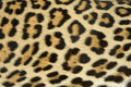Leopard Fur Texture (real) Stock Photo - 11288920