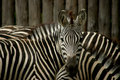 Zebras Royalty Free Stock Photos - 1138318