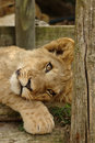 Lion Cub Stock Photography - 1138542