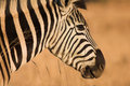 Zebra 10 Royalty Free Stock Photo - 1139235