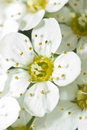 Blooming White Flowers Stock Photography - 11314722