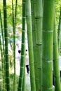 Bamboo Forest Stock Photo - 11326660