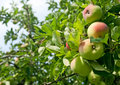 Apples On A Tree Royalty Free Stock Photos - 11335908