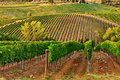 Vineyards. Royalty Free Stock Images - 11347949