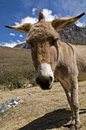 Curious Donkey Royalty Free Stock Images - 11349739