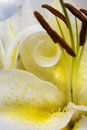 Yellow Lily Stock Photo - 11361920
