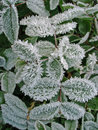 Frosty Plant Royalty Free Stock Images - 11363089