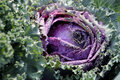 Purple Cabbage Stock Photography - 11367842