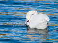 Swan Cleaning Stock Images - 11378704