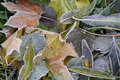 Many Leafs And Frost. Royalty Free Stock Photography - 11384127