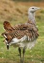 Great Bustard Stock Images - 11391034