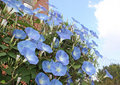 Morning Glory Blooms Stock Image - 11392801