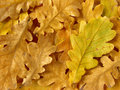 Oak Leaves Background Royalty Free Stock Photo - 11406295