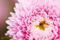 Pink Aster Flower Stock Images - 11413044
