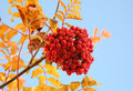 Ashberry Royalty Free Stock Photo - 11433205