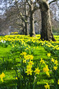 Daffodils In St. James S Park Stock Photography - 11459692