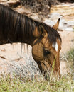 Mustang Mare Stock Images - 11467864