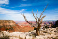 Dead Tree At The Rim Of The Grand Canyon Royalty Free Stock Images - 11471079