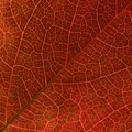 Autumn Red Virginia Creeper  Leaf Veins Close Up. Stock Photo - 11479960