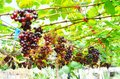 Fresh Organic Grape Plantation In Vineyard, Agriculture And Food Stock Photography - 114780952