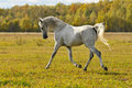 White Horse Run Trot On The Meadow Stock Image - 11486941