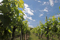 Vineyard In Spring Time Royalty Free Stock Images - 11488169