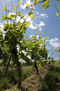 Vineyard In Spring Time Royalty Free Stock Photography - 11488257