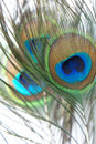 Peacock Feather Stock Image - 11498951