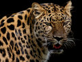 Leopard On Black Stock Photography - 1154912