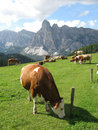 Cows Stock Photography - 11508302