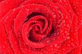 Magnificent Red Rose With Drops Of Water Royalty Free Stock Photography - 11512897