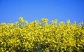 Rapeseed Field Royalty Free Stock Photo - 11533565