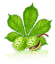 Chestnut Seed Fruits With Green Leaf Isolated Stock Image - 11547941
