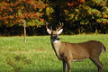 Buck Watching Royalty Free Stock Photo - 11555585