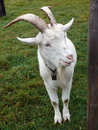 Billy Goat Royalty Free Stock Images - 11557389