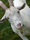 Billy Goat Royalty Free Stock Photo - 11557405