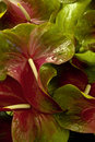 Anthurium Stock Photo - 11609960