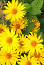 Yellow Flowers Royalty Free Stock Photography - 11618997
