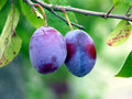 Plum Tree Royalty Free Stock Photography - 11619717