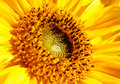 Sunflower Close-up Royalty Free Stock Photos - 11662048