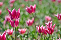 Pink Tulips 2 Royalty Free Stock Photo - 1176195