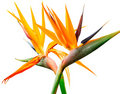 Bird Of Paradise Stock Image - 11720561